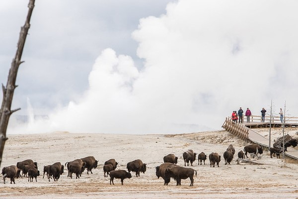 Bison and visitors at Fountain Paint Pots